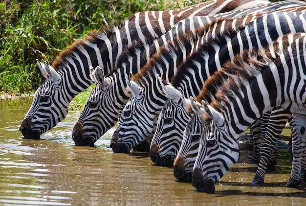 Grupa zebry pije wodę z rzeki. kenia. tanzania. park narodowy. serengeti. masajowie mara.