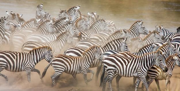 Grupa zebry w pyle. kenia. tanzania. park narodowy. serengeti. masajowie mara.