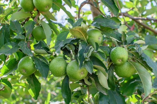 Grupa zielonych jabłek wiszące na gałęzi jabłoni w ogrodzie.