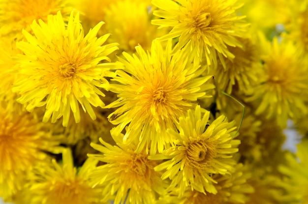 Grupa żółci dandelion kwiatów zamknięty up