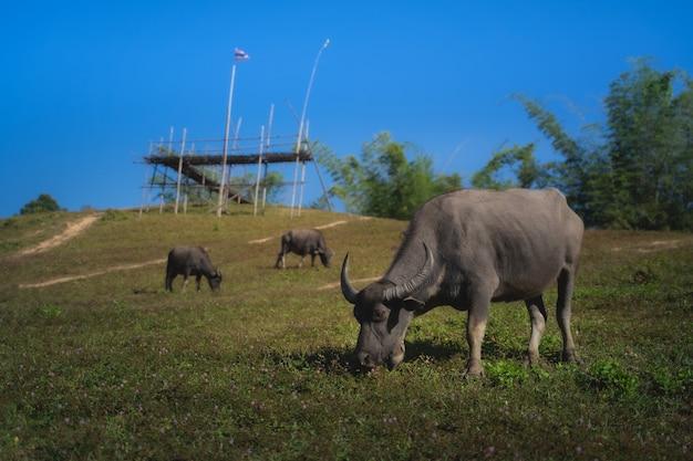 Grupa zwierząt, bawół jedzący trawę na polu w górach