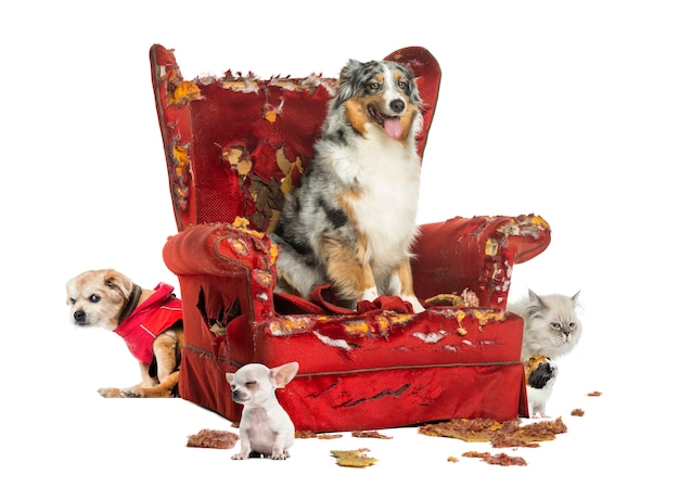 Grupa zwierząt domowych na zniszczonym fotelu, na białym tle