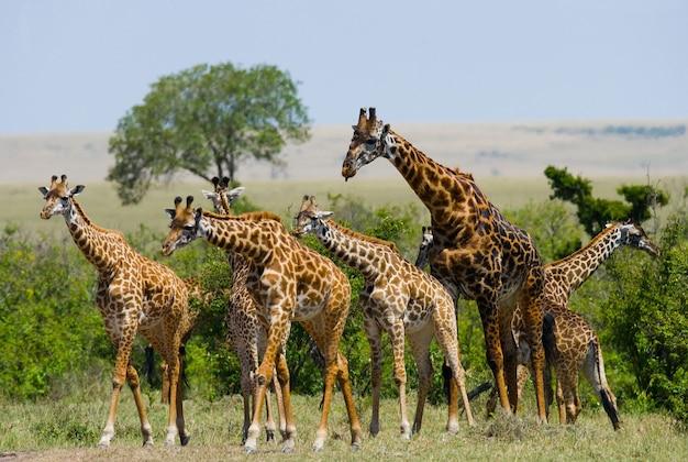Grupa żyraf na sawannie