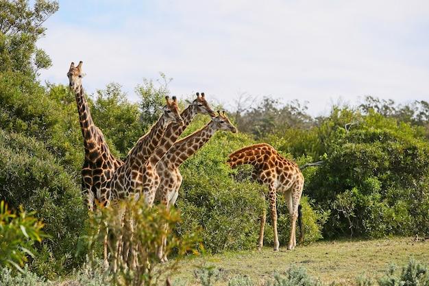 Grupa żyrafy stojących na wzgórzu pokrytym trawą w pobliżu drzew