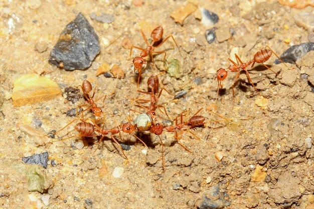 Grupowa czerwona mrówka idzie i zbiera jedzenie do gniazda na piaszczystej podłodze