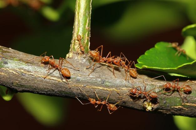 Grupowa czerwona mrówka na kija drzewie w naturze przy lasowym thailand