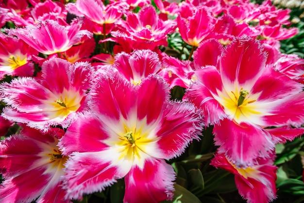 Grupowi różowi tulipany przeciw niebu. wiosenny krajobraz.