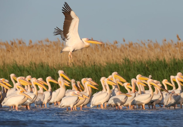 Grupy pelikanów białych stojących w wodzie