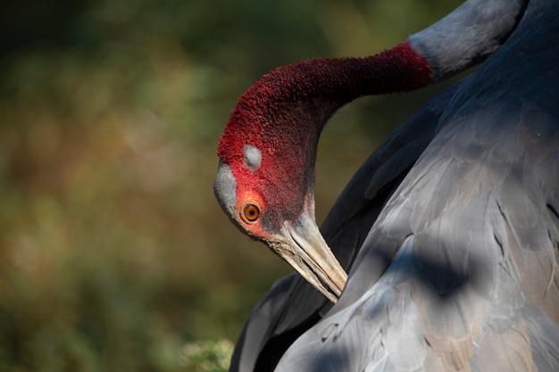 Grus antigone, eastern sarus crane, antigone antigone sharpii