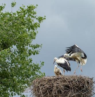 Grus trzy młode ptaki w gnieździe uczą się latać