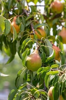 Grusza. zamknij się świeże gruszki na gałęzi w krajobrazie wiejskim. verical promo soku gruszkowego.