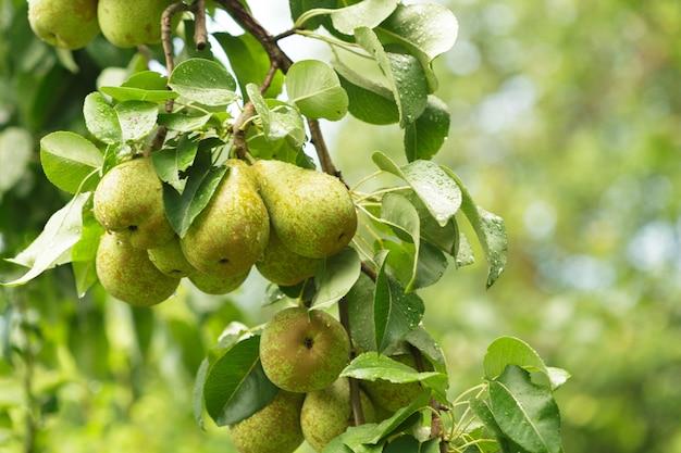 Gruszka na drzewie w ogrodzie owoców