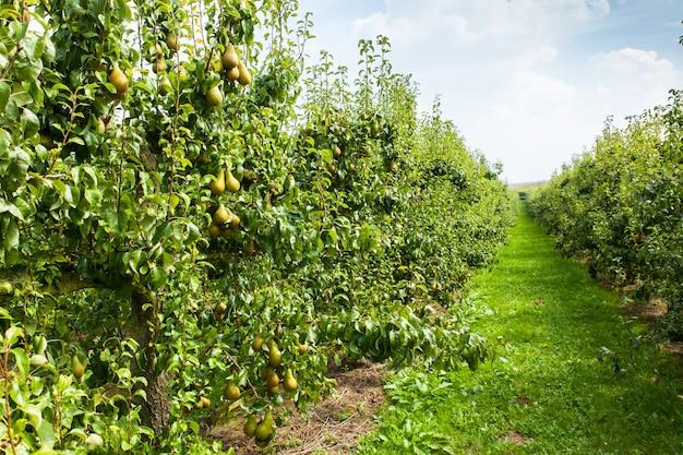 Gruszki obładowane owocami w sadzie na słońcu