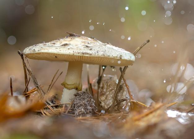 Grzyb amanita phalloides, trujący podmiot w dzikiej górze z bliska w deszczowy dzień