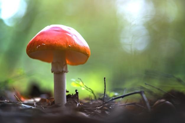 Grzyb czerwony muchomor trujący grzyb rosnący w lesie jesienią.