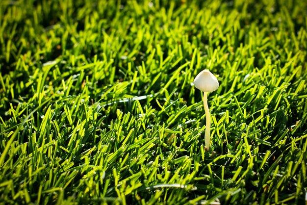 Grzyb dziki na trawniku