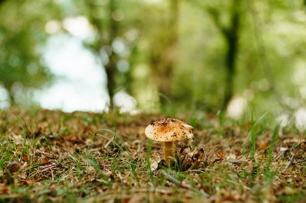 Grzyb lepiota w trawie z liści jesienią w lesie