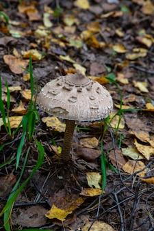 Grzyb parasol mushroom macrolepiota procera owoce można jeść przez krojenie i smażenie w cieście lub jajku i bułce tartej