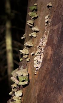 Grzyb polyporus squamosus, rosnący na drzewie. polyporaceae.