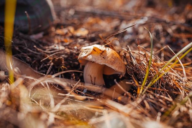 Grzyb porcini rośnie w lesie. jesienna przyroda