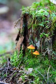 Grzyby miodowe rosnące na pniu w jesiennym lesie