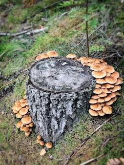 Grzyby miodowe w lesie ze światłem słonecznym w jesiennym lesie. poszukaj grzybów w lesie. koncepcja grzybów leśnych.
