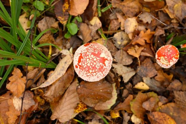 Grzyby muchomor w trawie na jesień las. toksyczny i halucynogenny czerwony trujący grzyb amanita muscaria makro z bliska w środowisku naturalnym. widok z góry