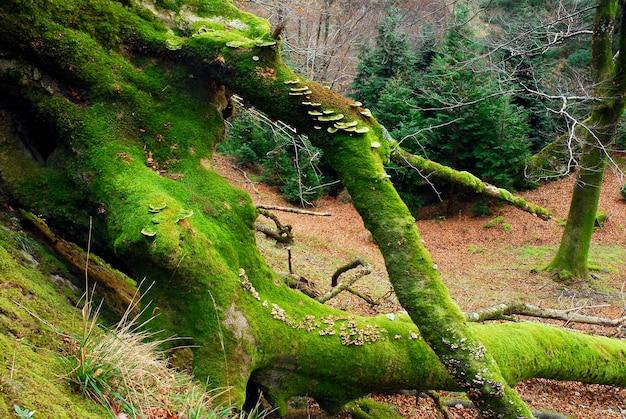 Grzyby na porośniętym mchem buku w parku przyrody gorbeia. kraj basków. hiszpania