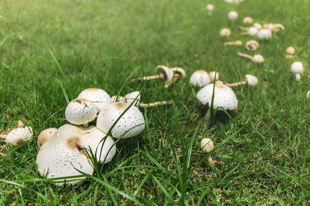 Grzyby rosnące na zielonej trawie