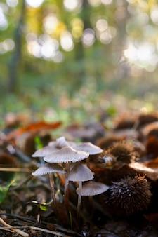 Grzyby w kasztanowym lesie