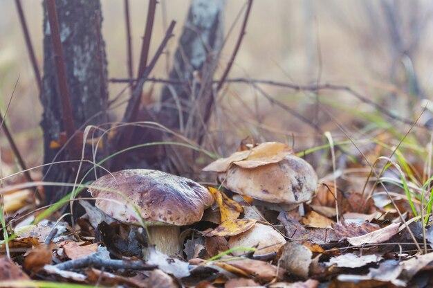 Grzyby w lesie jesienią
