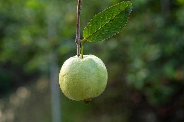 Guawa to pyszny i bardzo przydatny owoc.