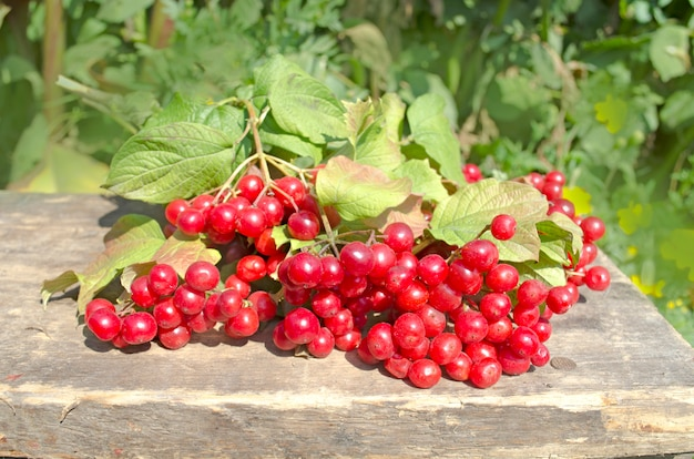 Guelder rose berries lub arrow wood