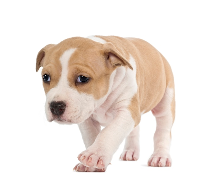 Guilty american staffordshire terrier puppy
