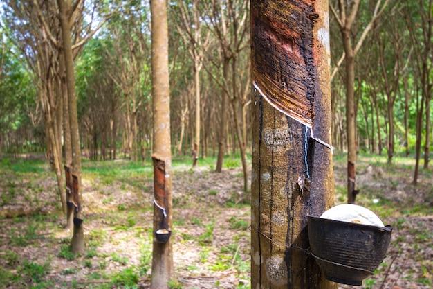 Gumowe drzewo i miska wypełniona lateksem.