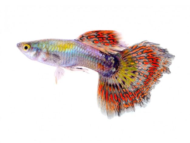 Gupik ryba odizolowywająca na białym tle