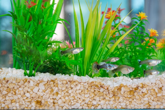 Gupiki pływające w akwarium z brudnymi białymi kamieniami i sztucznymi roślinami wodnymi
