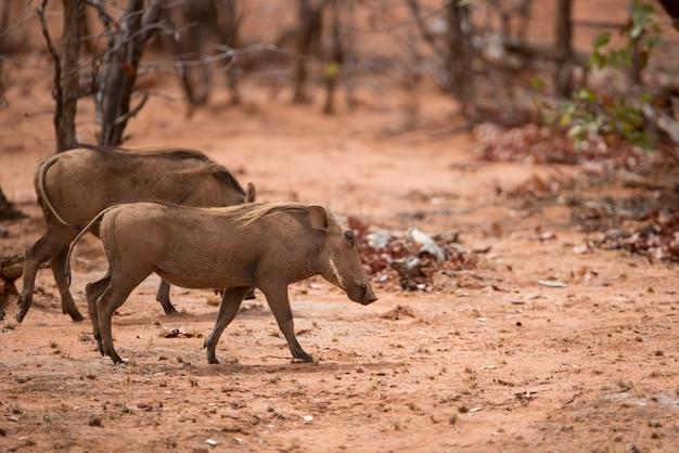 Guziczki spacerujące po suchej sawannie