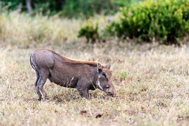 Guziec afrykański w ich naturalnym środowisku. kenia. afryka.