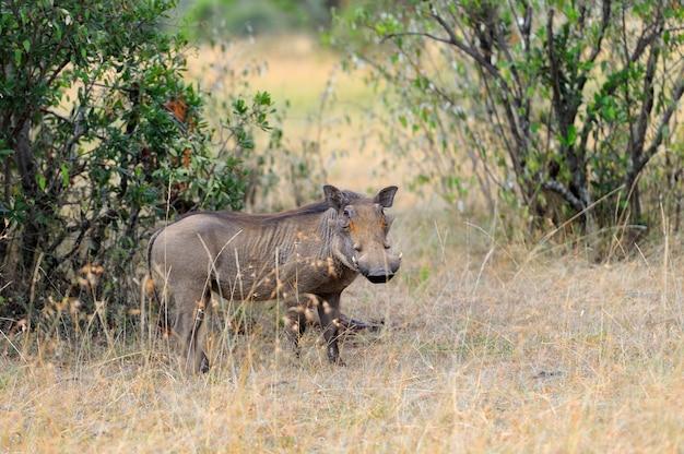 Guziec w parku narodowym kenii w afryce