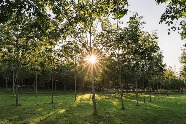 Gwiazdy słoneczne przeświecające wieczorem przez plantację drzew kauczukowych
