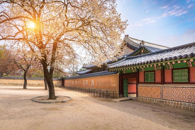 Gyeongbokgung pałac z czereśniowego okwitnięcia drzewem w wiosna czasie w seul mieście korea, korea południowa.