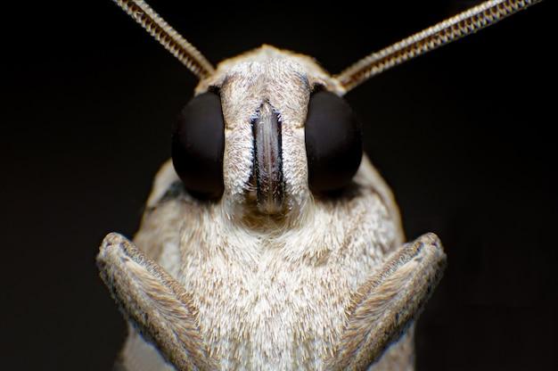 Gypsy moth (lymantria dispar) ćmy noc siedzącej na gałęzi w nocy
