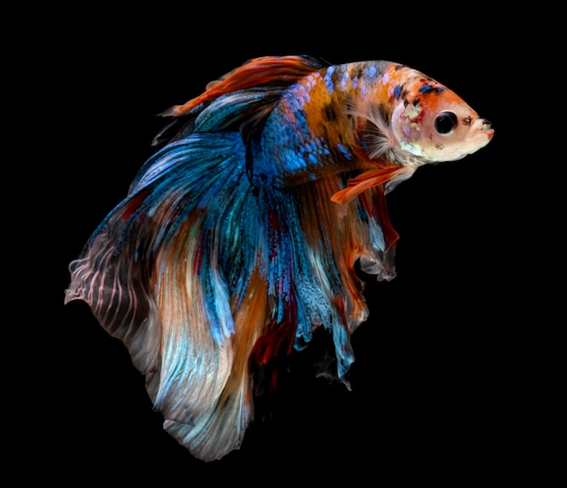 Half moon nemo betta fish.