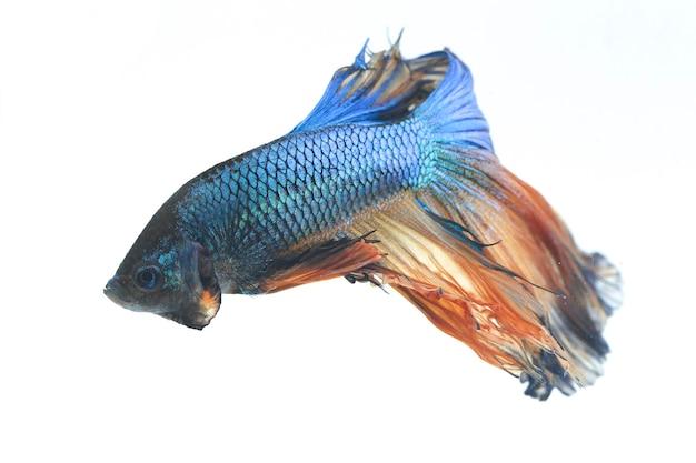 Halfmoon betta blue walcząca ryba