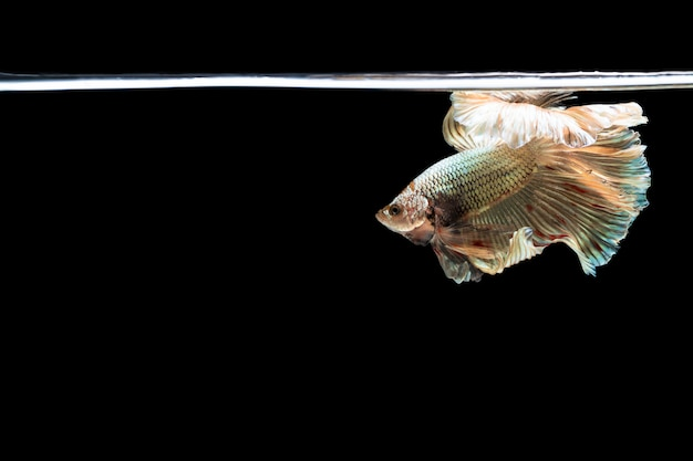 Halfmoon betta piękna ryba. uchwycić poruszającą chwilę piękną siam betta ryb