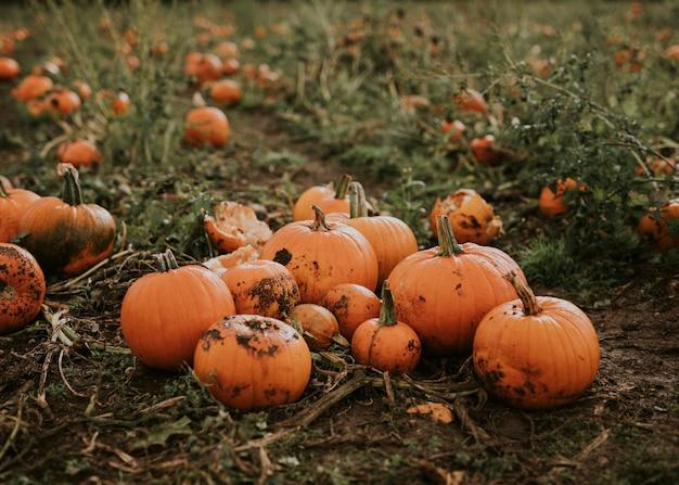 Halloweenowe żniwa dyni tło w ciemnym jesiennym nastroju