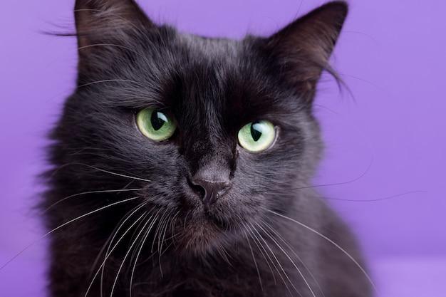 Halloweenowy kot z białymi dekoracyjnymi dyniami na fioletowym tle. portret pięknego puszystego czarnego kota.