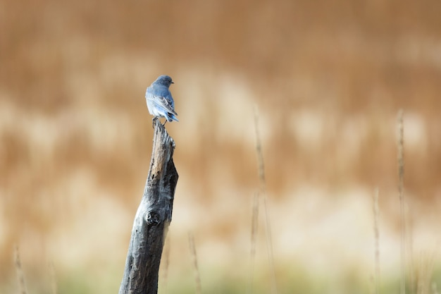 Halny bluebird na fencepost w utah