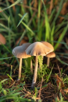 Halucynogenne grzyby liberty cap lub psilocybe semilanceata w zielonej trawie